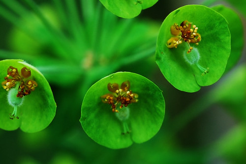 Green Flowers | Flickr - Photo Sharing!