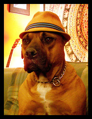 Superfly Furry Guy (Fen Branklin) Tags: portrait dog pet animal ab canine noflash donald bulldog don thedonald pooch donovan donniedarko k9 doner petportrait americanbulldog animalportrait indoorphotography dingodonald cdcjune06 jeremyburger