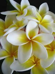 memory of summer (*omnia*) Tags: flowers topf25 yellow topv111 topf50 topv555 topv333 topf75 plumeria topv1111 topv999 frangipani topv777 topf125 topf100 frhwofavs beccabadge