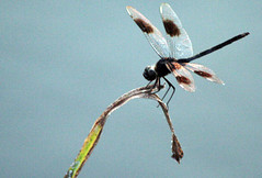 Dragonfly (Living Juicy) Tags: zoom dragonfly angleton livingjuicy may2006triphome lj2006
