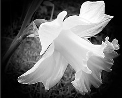 A dream in B&W (Zanastardust) Tags: flowers nature ilovenature daffodil 100club s3000 kiss2 flowerpix naturepix naturenuts athingofbeauty fujifilms3000 kiss3 kiss1 kiss4 theworldthroughmyeyes 1on1flowers bwpix kiss5 naturearoundmyhouse