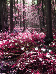 Magic forest: Pink (Sameli) Tags: wood pink flowers trees red white flower color colour tree love nature colors beautiful beauty forest suomi finland cherry stars landscape fire star spring still cool woods topf50 shiny colorful warm silent bright magic dream manga like poetic final fantasy silence dreams dreamy finalfantasy dreamlike hush magical ff forests kakadoo