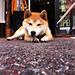 柴犬:friend, shiba