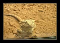 Freches Kerlchen / Cheeky Fellow (# -  * - + P A T T Y + - * - #) Tags: reptile snake lizard terrarium scs cmc schlangen reptilien echsen reptilium commentonmycuteness bartagamepogonavitticeps