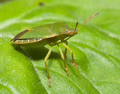 "Green Shield Bug (Palomena prasina)(6) • <a style=""font-size:0.8em;"" href=""http://www.flickr.com/photos/57024565@N00/147512586/"" target=""_blank"">View on Flickr</a>"