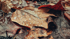 Autumn Serenity (AIeksandra) Tags: autumn autunno poetic drops rain raindrops waterdrops texture closeup leaf brown bruno melancholic serenity serene peaceful calmness photography lumixgh4 panasonic poesia serenità malinconia leaves foglie fotografia italia cremona nature forest perspective november outside water fall