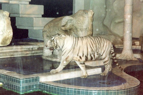 deformed white tiger pictures. Just white tigers in the
