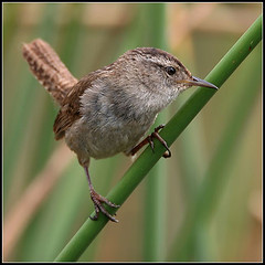 Marsh Wren (amkhosla) Tags: bird birds bravo quality wren marshwren cistothoruspalustris birdoftheday specnature specanimal