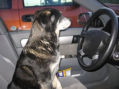 Hillary in the Driver's Seat (abbydonkrafts) Tags: vacation dog pet canon nashville tennessee powershot hillary suzuki a510 businesstrip forenza canonpowershota510 qualityinn