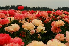 Coral sunset ----- peonies (tollen) Tags: flowers flower oregon peony peonies