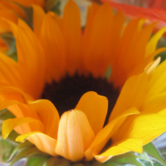 cad ([auro]) Tags: orange macro yellow closeup gift sunflower regalo girasole pleasure arancione cadeau sfumatura inaspettato tournesoleil machepiacere cad