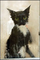 (miami fever) Tags: wet public look cat shower eyes kitty tuxedo 85mmf14d