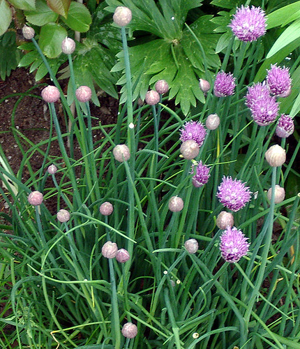 Chive blooms