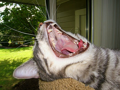 Digger (shesnuckinfuts) Tags: cats pets animals yawn furryfriday animalplanet digger cc300 animaladdiction shesnuckinfuts