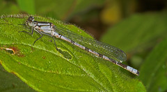 """Common Blue Damselfly (enallagma cyathigerum) Male • <a style=""""font-size:0.8em;"""" href=""""http://www.flickr.com/photos/57024565@N00/159164171/"""" target=""""_blank"""">View on Flickr</a>"""