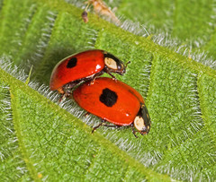 "Mating Two-spot Ladybirds (Adalia 2 punctata) • <a style=""font-size:0.8em;"" href=""http://www.flickr.com/photos/57024565@N00/159165307/"" target=""_blank"">View on Flickr</a>"