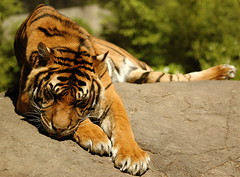 tiger (joyrex) Tags: animal 510fav ilovenature zoo top20animalpix blijdorp sleep tiger explore