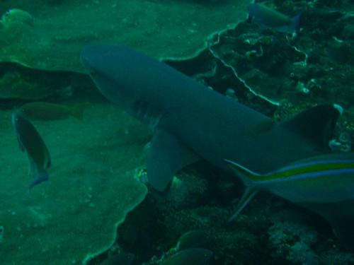 Tiburon inofensivo