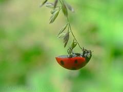 Ladybird (zogt2000 (No Video)) Tags: france ilovenature spring ladybird ladybug coccinelle iloveit bokehsonice animalkingdomelite buzznbugz
