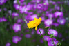 Tickseed Coreopsis (sakichin) Tags: plant flower bokeh explore iloveit bokehsoniceaugust bokehsoniceaugust11