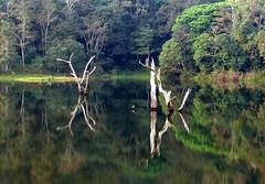 Periyar Lake (akshaydavis) Tags: india lake reflection tree kerala stump thekkady periyar