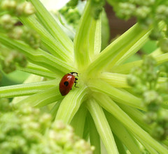 Help! Which way now? (cattycamehome) Tags: plant macro green tag3 taggedout bug insect lost bravo tag2 all tag1 centre  junction story direction rights ladybird ladybug doris angelica ladybeetle reserved catherineingram cattycamehome allrightsreserved