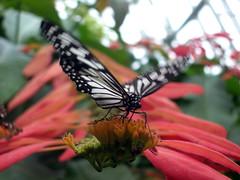 Landing (Sifter) Tags: flowers deleteme5 deleteme8 deleteme deleteme2 deleteme3 deleteme4 deleteme6 deleteme9 deleteme7 butterfly wings texas deleteme10 flight butterflies houston personalfavorite