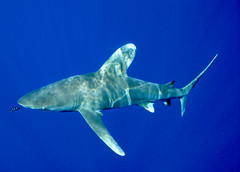 Oceanic White Tip Shark (ScottS101) Tags: fish danger ilovenature hawaii shark scary predator kona allrightsreserved oceanic longimanus ilovetheocean carcharhinus copyrightscottsansenbach2008