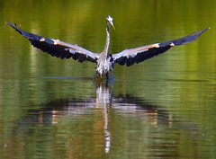 Stretching Great Blue Heron (2nd Version) (Fort Photo) Tags: bird heron nature birds animal wow nikon bravo colorado d70 wildlife birding 2006 aves 100v10f loveland ave waterfowl ornithology animalplanet greatblueheron avian ardeidae ardeaherodias gbh ciconiiformes wildbird featheryfriday birdphoto interestingness389 i500 outstandingshots 123faves nikonstunninggallery specanimal abigfave bestnaturetnc06
