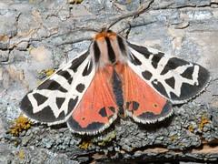 Grammia favorita (tigerbeatlefreak) Tags: red white black bug insect tiger small moth may ne lepidoptera arctiidae arctiinae dorsal bmna grammia phylliratigermoth grammiaphyllira grammiafavorita