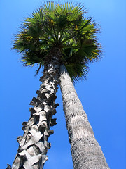 fighting palms (.sanden.) Tags: blue sky tree green canon happy couple palm g5 palmtrees fighting leaning powershotg5 sanden