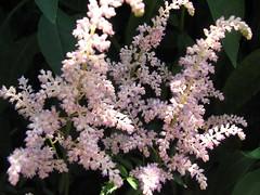 Astilbe (jaja_1985) Tags: pink flowers flower macro closeup astilbe astilbes falsespirea