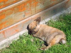 Sleepy (Sjaek) Tags: wood sleeping cute rabbit bunny grass wall furry fluffy sleepy a620 powershota620