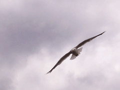 Free Bird (Kari Melissa) Tags: bird fly michigan seagull gull soaring