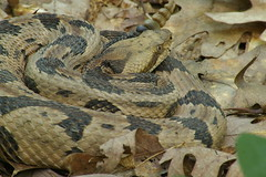 Timber rattlesnake  0276 (Eric Wengert Photography) Tags: timber snake mo missouri rattlesnake crotalus horridus