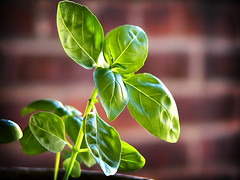 compounds in basil oil have potent antioxidant and is used for supplementary treatment of stress