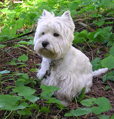 Dexter in the forest at site 6-1 (westietess) Tags: dogs archaeology dundas westhighlandterrier westies