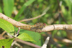 "Common Darter Dragonfly (sypetrum str(1) • <a style=""font-size:0.8em;"" href=""http://www.flickr.com/photos/57024565@N00/192668601/"" target=""_blank"">View on Flickr</a>"