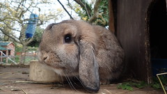 Buckles the bunny (rjmiller1807) Tags: bunny rabbit bun buckles oxfordshire oxford harwell pawsnclaws rspca rspcaoxfordshire 2016 november shelter lookingforahome lop cute