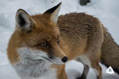 Foxy (AleksVee) Tags: fox snow autumn winter foxy close animal flickr shot bokeh amazing zoo slovakia tatry tatras vysoke alex vee aleks vicena