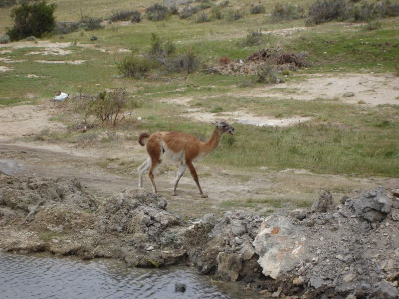 Angry Guanaco