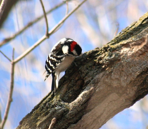 downy woodpecker 02