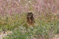 The female Burrowing Owl kept close watch.