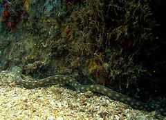 DSC03098 (smsphoto) Tags: park bridge blue beach heron riviera phil dive scuba diving foster shallow eel saltwater intracoastal icw breviceps sharptail myrichthys