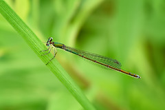 Multichromatic Damselfly