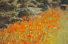 Orange Bonanza (2bmolar ~ Spotty Internet) Tags: rural pa daylily schuylkill day182 day182365 365the2015edition 3652015 1jul15