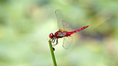 Red Dragonfly on the edge of the stem( ) (Johnnie Shene Photography(Thanks, 1Million+ Views)) Tags: light red wild people plant colour macro nature up animal horizontal closeup canon bug insect lens photography eos rebel one living fly wings stem focus scenery kiss dragon view natural image zoom dragonfly outdoor no wildlife side tail scenic reserve sigma tranquility scene korea apo single edge flies modified limbs magnified 70300mm viewpoint tranquil freshness dg selective 456 t3i x5 70300 organism hemiptera fragility    600d f456