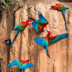 "Macaws at a ""collpa"" / Papagayos en una collpa (Official account) Tags: naturaleza peru nature colors birds rainforest selva aves colores macaws madrededios papagayos watchbird guacamayos bucketlist visitperu marcaperu discoveryourselfinperu descubreteenperu"