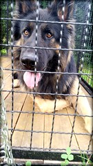 Hilton (blue.lacy) Tags: dog pet pets dogs animal animals puppy shepherd german germansheperd blackandbrown