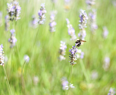 Bokeh Bee (dyun4989) Tags: flowers blur nature grass bokeh bees lavender sunny wideaperture